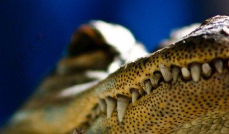 鳄鱼嘴图片
