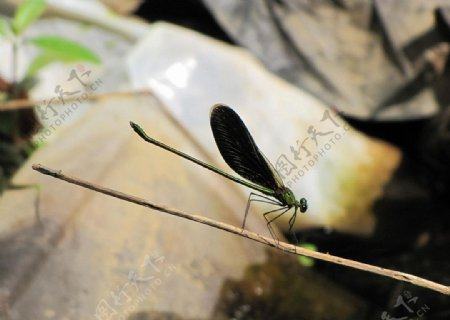 蜻蜓昆虫生物世界摄影图库自然图片