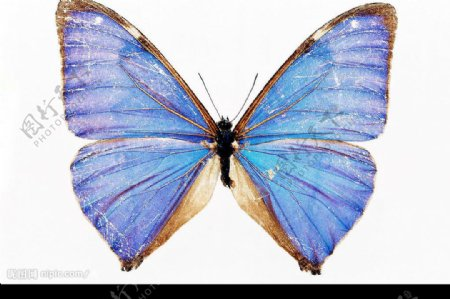 紫色蝴蝶图片