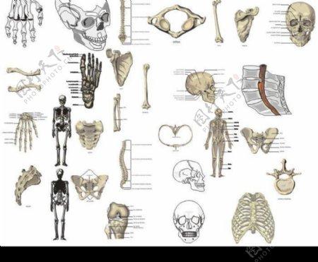 人体骨骼矢量图库