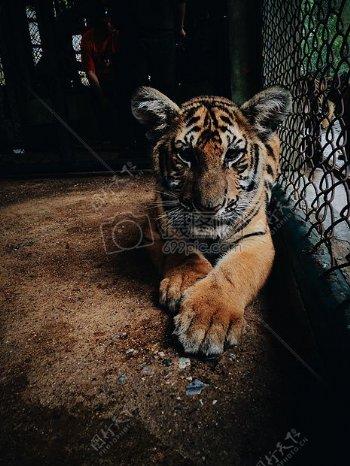 动物毛皮危险动物园笼虎猫爪子捕食者