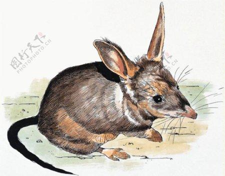 鼠家禽家畜动物插图27