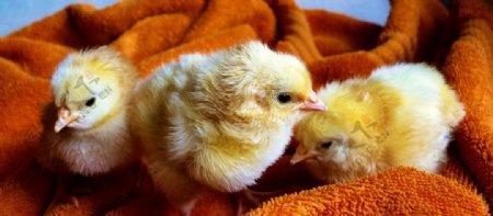 被巾上毛茸茸的小鸡