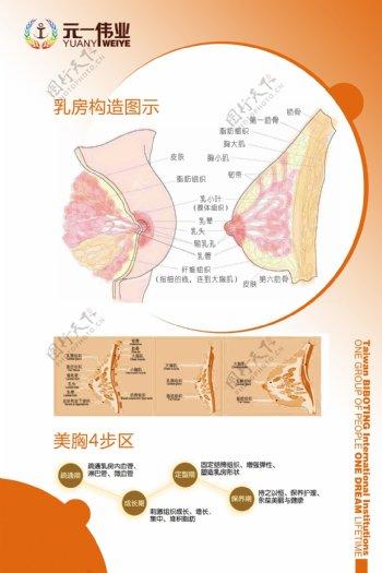 乳房构造图
