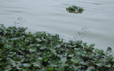 水面江水水水植物水葫芦