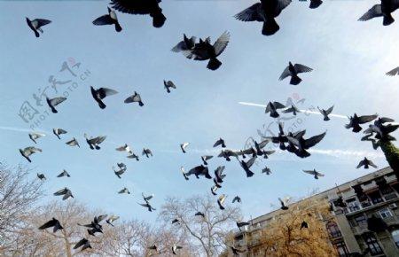鸽子白鸽飞禽信鸽禽类