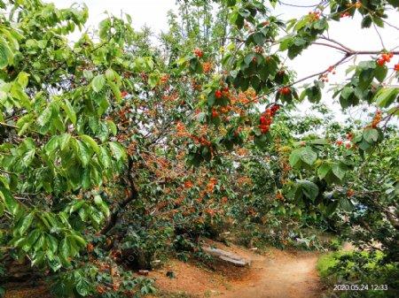 樱桃树采摘