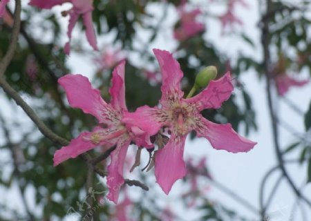 美丽异木棉花朵