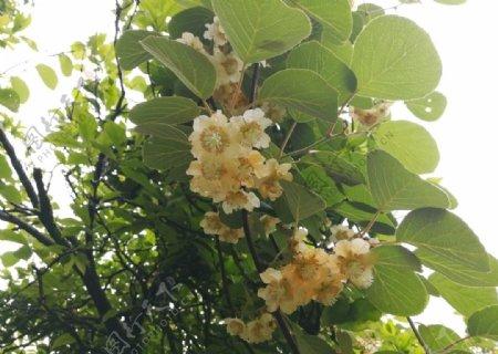 中华猕猴桃树