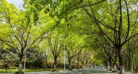 成都沙河公园的绿荫道