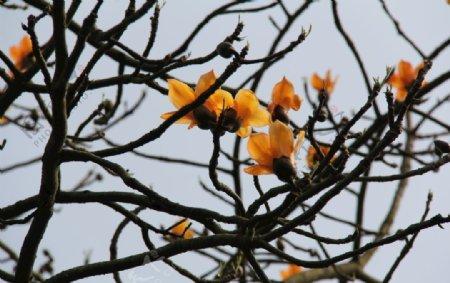 爪哇木棉花朵