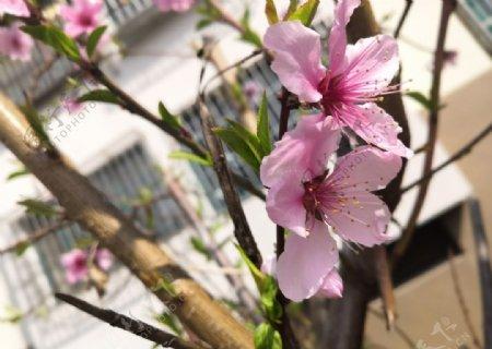 桃树上面桃花开