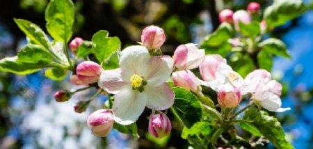 苹果花苹果树