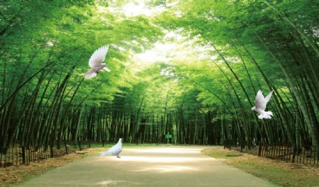 林荫大道白鸽