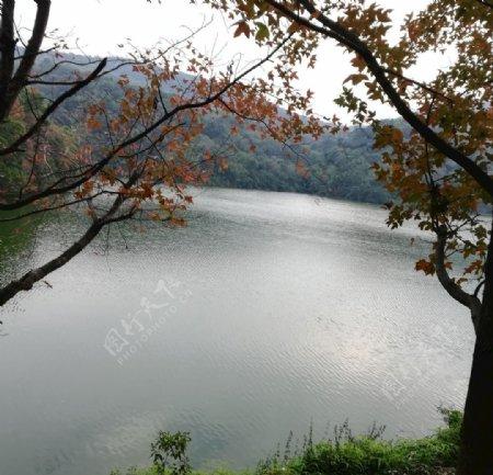 湖边的枫树