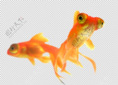 家养鱼类金鱼图片