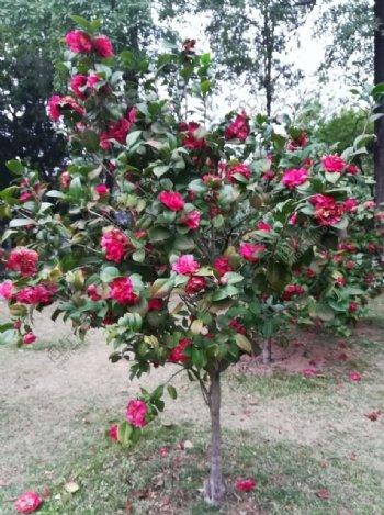 山茶花花卉图片