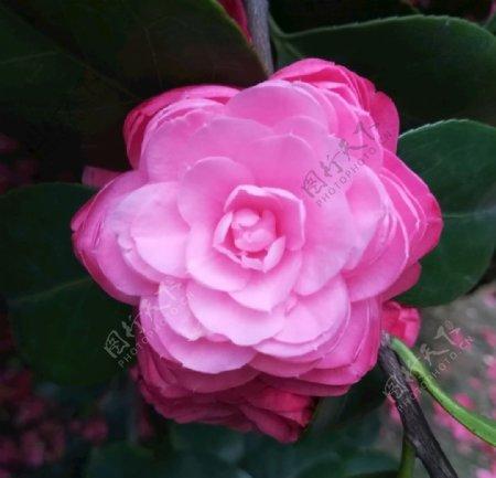 粉色茶花图片