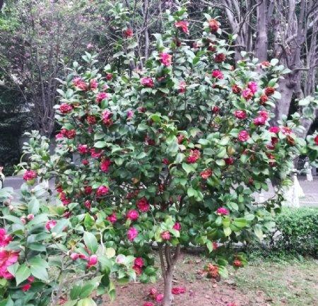 茶花花园图片