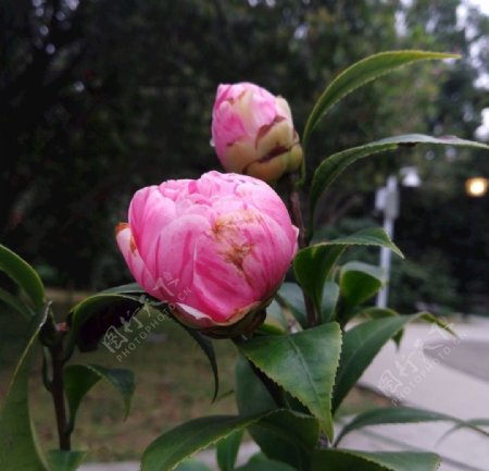 茶花花骨朵图片