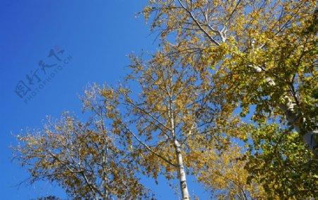 秋天蓝天下的杨树树冠黄叶图片