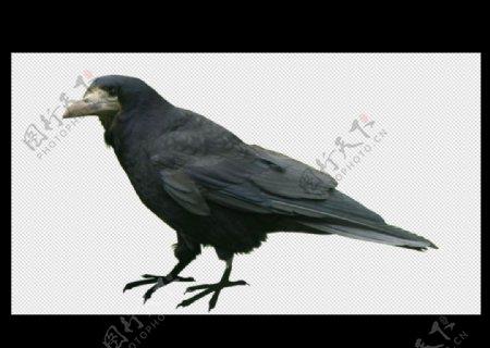乌鸦鸟图片