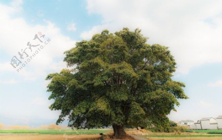 秋天的大树图片
