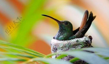 蜂鸟的鸟巢图片