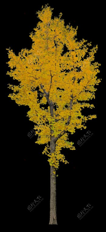 银杏树PSD分层素材图片