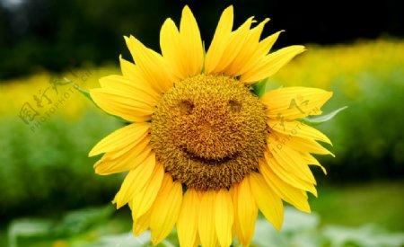 向日葵笑脸图片