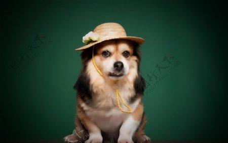 戴帽子的宠物狗图片