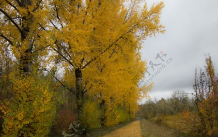 枫树小道图片