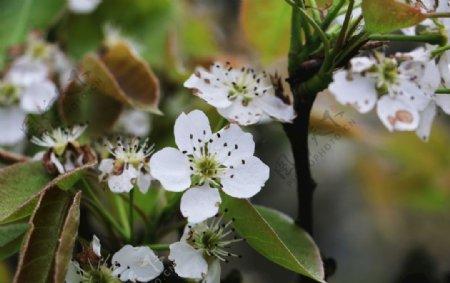 梨花春天复苏图片