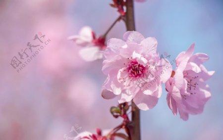 春天户外清新海棠花图片