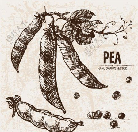 手绘新鲜豌豆图片