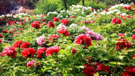 牡丹花园图片