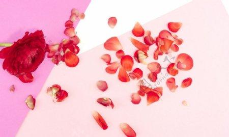 牡丹花花瓣图片