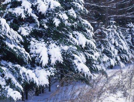 松树上的积雪图片