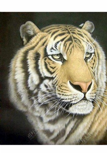 老虎素材图片