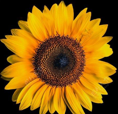 漂亮的向日葵图片