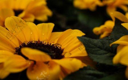 美丽的向日葵图片