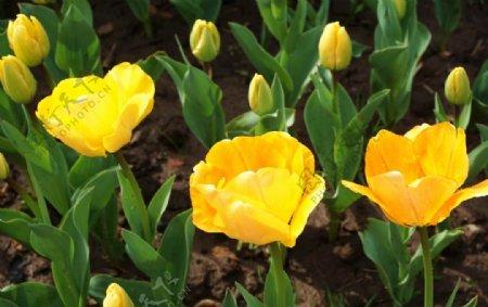 黄色郁金香拍摄素材图片