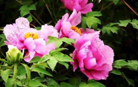 大花瓣牡丹素材摄影图图片