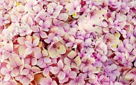 粉色花瓣图片