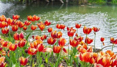 湖边大片的郁金香花图片