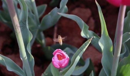 一朵紫红色的郁金香特写图片