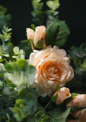 户外浅粉色玫瑰花特写图片