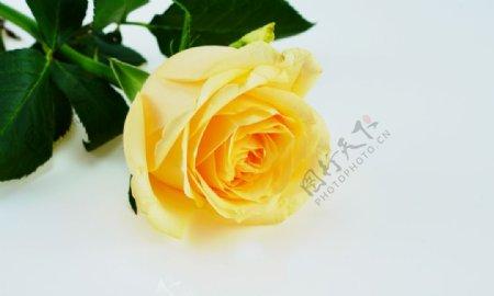 黄色玫瑰高清特写图片