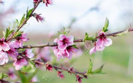 树枝上的艳丽桃花图片