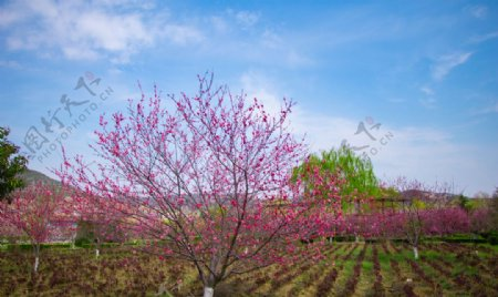 春天蓝天白云户外海棠树土地摄影图片